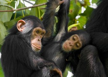 animals_hero_chimpanzee