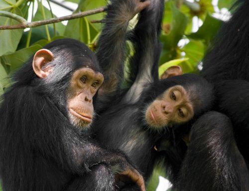 HALF DAY – Tour Ngamba Island Chimpanzee Sanctuary