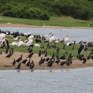 birding-Uganda-pelicans