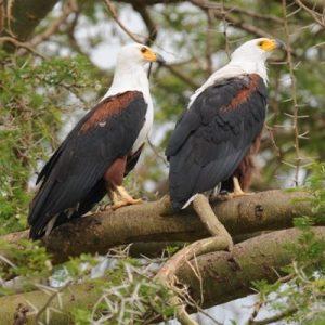 fish-eagle.jpg