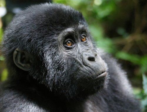 MADELINE MOORE 3 Days Gorilla Trekking Bwindi Impenetrable National Park Uganda