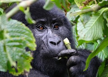 Gorilla Trekking Bwindi Impenetrable National Park _BIC TOURS