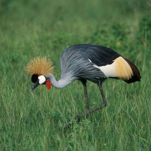 grey-crowned-crane-in-queen-elizabeth-national-park-uganda