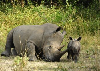 rhinoceraus